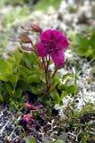 Der kamchatka-Rhododendron Lizenzfreie Stockbilder