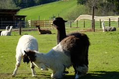 Der Kampf der Lamas lizenzfreie stockfotos