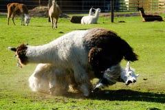 Der Kampf der Lamas stockbilder