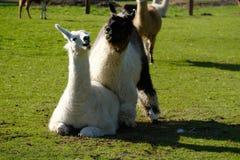 Der Kampf der Lamas lizenzfreies stockbild