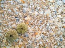der KarkassenSeeigel im Strand Stockfotos