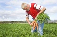 Der Karottelandwirt Stockfoto