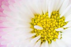 Der Kern eines Gänseblümchens Stockfoto