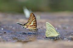 Der Ketten-aristeus Swardtail Graphium Schmetterling stockbilder