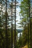 Der Kiefernwald nahe dem Fluss Gauja, Lettland Stockbilder
