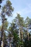 Der Kieferwald lizenzfreie stockfotos