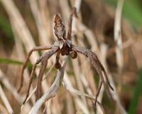 Der KindertagesstättenWeb spider Pisaura-Mirabilis Stockfotos