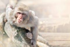 Der kleine Affe hat sich auf einem Klotz angeschmiegt und schaut vorwärts Stockbilder