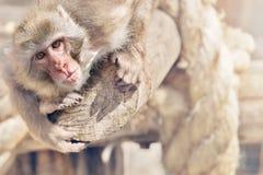 Der kleine Affe hat sich auf einem Klotz angeschmiegt und schaut vorwärts Lizenzfreie Stockbilder