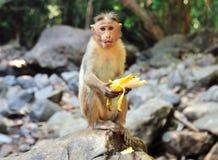 Der kleine Affe sitzt auf einem Stein und isst Banane Lizenzfreies Stockfoto