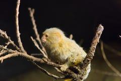 Der kleine Affe sitzt auf einer Niederlassung Stockfoto
