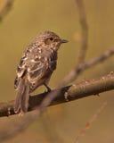 Der kleine afrikanische düstere Flycatcher Stockbild