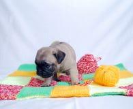 Der kleine beige Welpe Mopsa sitzt auf einem woolen Plaid Lizenzfreie Stockfotos