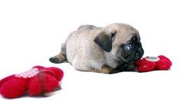 Der kleine beige Welpe Mopsa spielt mit einer gestrickten roten Blume Stockbilder