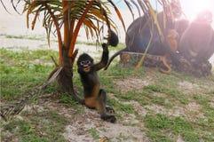 Der kleine Blatt-Affe auf dem Strand Stockfoto
