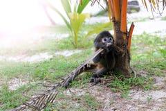 Der kleine Blatt-Affe auf dem Strand Lizenzfreies Stockbild
