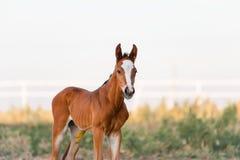 Der kleine braune Colt der zwei Tage alt Lizenzfreie Stockbilder