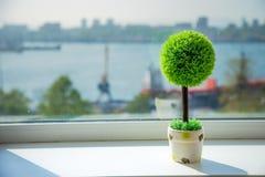 Der kleine dekorative Baum, der in einem Topf auf einem Fensterbrett wächst lizenzfreies stockfoto