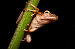 Der kleine Frosch, der den Stamm hält Lizenzfreies Stockfoto