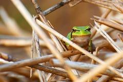Der kleine grüne Frosch lizenzfreie stockfotografie