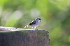 Der kleine graue Vogel, der auf dem Bürgersteig (die Republik Kongo, sitzt) Lizenzfreie Stockfotos