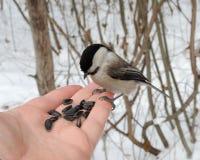 Der kleine graue Vogel mit schwarzem Kopf sitzt auf der Hand Lizenzfreie Stockfotografie