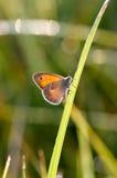 Der kleine Heide, Schmetterling in natürlicher Lebensraum Coenonympha-pamph Lizenzfreies Stockbild