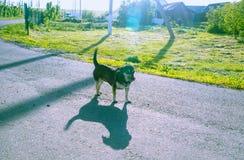 Der kleine Hund leckt sich Stockfotos