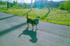 Der kleine Hund leckt sich Foto mit Hintergrundbeleuchtung Lizenzfreies Stockbild