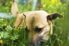 Der kleine Hund wird im Gras, der Hund isst Gras, um den Magen zu s?ubern gespielt lizenzfreie stockbilder