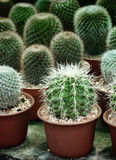 Der kleine Kaktus auf natürlichem Hintergrund des Topfes Lizenzfreies Stockbild
