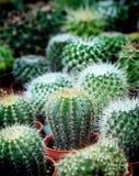 Der kleine Kaktus auf natürlichem Hintergrund des Topfes Lizenzfreie Stockfotos