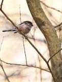 Der kleine Long-tailed Tit Stockfotografie