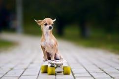 Der kleine rothaarige Chihuahuahund, der auf einem Skateboard sitzt stockfoto