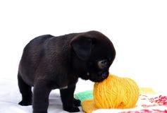 Der kleine schwarze Welpe Mopsa riecht einen Ball des Wollgarns Stockfotos