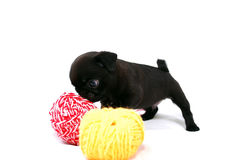 Der kleine schwarze Welpe Mopsa riecht einen Ball des Wollgarns Lizenzfreie Stockfotos