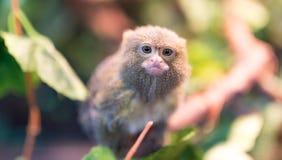 Der kleinste Affe im Zoo Lizenzfreies Stockbild