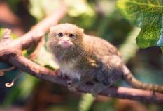 Der kleinste Affe im Zoo Stockfotos