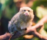 Der kleinste Affe im Zoo Stockbild