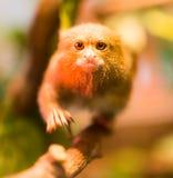 Der kleinste Affe im Zoo Stockfotografie
