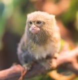Der kleinste Affe im Zoo Lizenzfreies Stockfoto