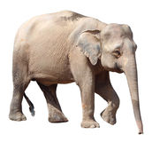 Der kleinste Elefant, kostbarer Borneo-Pygmäenelefant auf weißem Hintergrund lizenzfreies stockfoto
