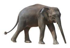 Der kleinste Elefant, kostbarer Borneo-Pygmäenelefant auf weißem Hintergrund stockfotografie