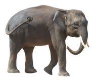 Der kleinste Elefant, kostbarer Borneo-Pygmäenelefant auf weißem Hintergrund lizenzfreie stockfotos