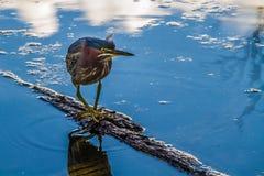 Ein kleines Reiher-Tanzen auf einem kleinen LOGON das Wasser. Stockfotos