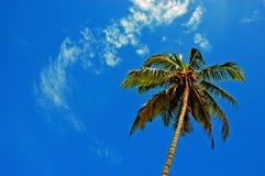 Der Kokosnussbaum. Stockfoto