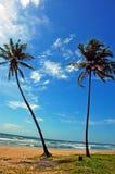 Der Kokosnussbaum. Stockbild