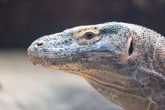 Der Komodowaran Varanus komodoensis Abschluss herauf Porträt Spezies der Eidechse fanden in den indonesischen Inseln Stockbilder