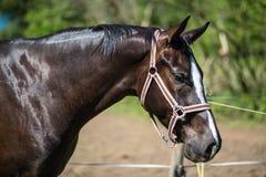 Der Kopf braunen Hanoverian-Pferds im Zaum oder des Snaffle mit dem grünen Hintergrund von Bäumen ein Gras am sonnigen Sommertag stockbild