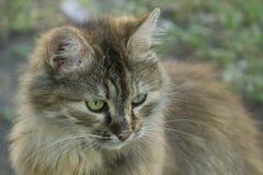 Der Kopf der Katzennahaufnahme auf unscharfem natürlichem Hintergrund Lizenzfreie Stockbilder